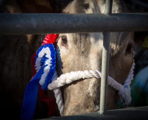 Cattle at the Uppingham Fatstock Show