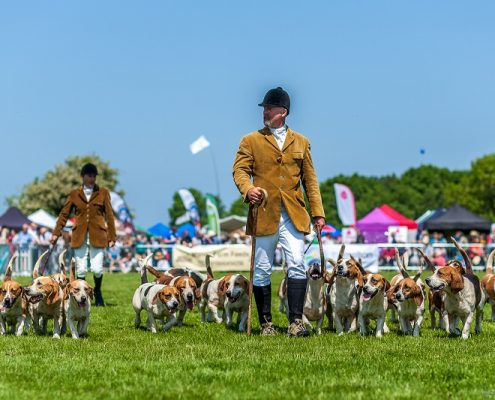 Basset Hounds at the Rutland County Show