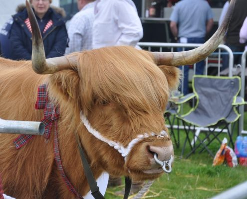 Highland Cow at the Rutland County Show
