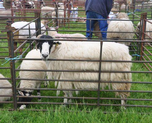 Sheep pens at the Rutland County Show